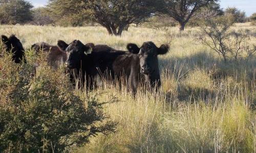 Confirmado, las vacas enfrían el planeta